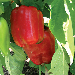 Peppers_capsicum_annuum_snapper_hybrid.full