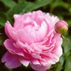 Peony, Double 'Walter Faxon' (Richardson 1904)