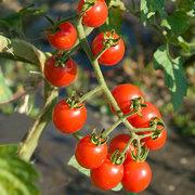 Tomatoes_lycopersicon_esculentum_jasper_hybrid_cherry.full