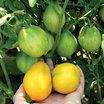 Tomato, 'Lemon Tree'