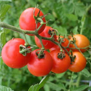 Tomatoes_lycopersicon_esculentum_mountain_magic.full