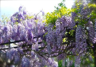 At my April visit to Chanticleer gardens, Wisteria sinensis 'Amethyst'
