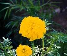 Marigold, African