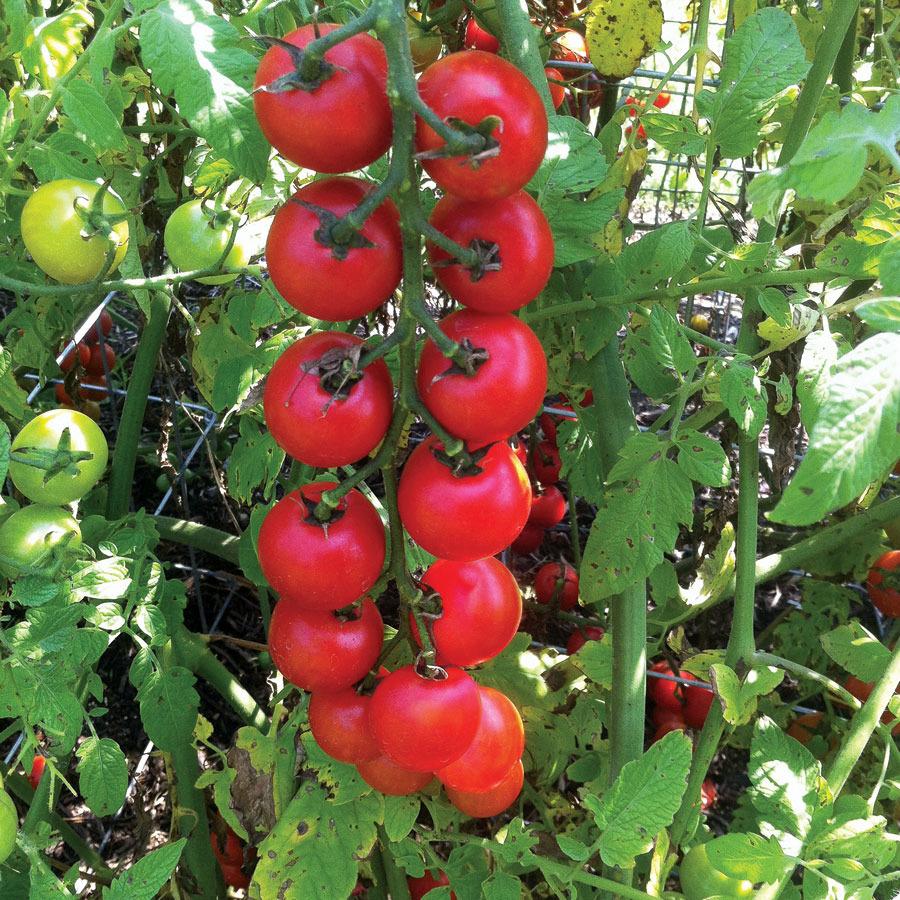 Tomatoes_lycopersicon_esculentum_nectar_hybrid.full