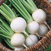 Turnip_brassica_rapa_white_ball_hybrid.full