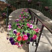 Petunias_on_rw.thumb