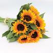Sunflowers_helianthus_annuus_zohar_organic.thumb