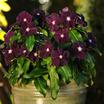 Vinca_catharanthus_roseus_jams_n_jellies_blackberry.thumb