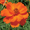 Cosmos_cosmos_sulphureus_towering_orange.thumb