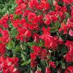 Sweet_peas_lathyrus_odorata_villa_roma_formula_mix.thumb