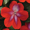 Impatiens_impatiens_walleriana_patchwork_cosmic_orange.thumb