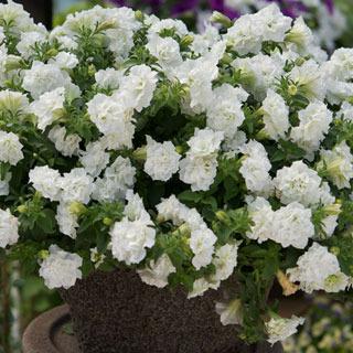 Petunias_petunia_surfinia_summer_double_white.full
