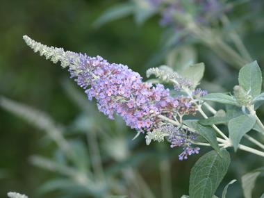 Butterfly_bush.detail