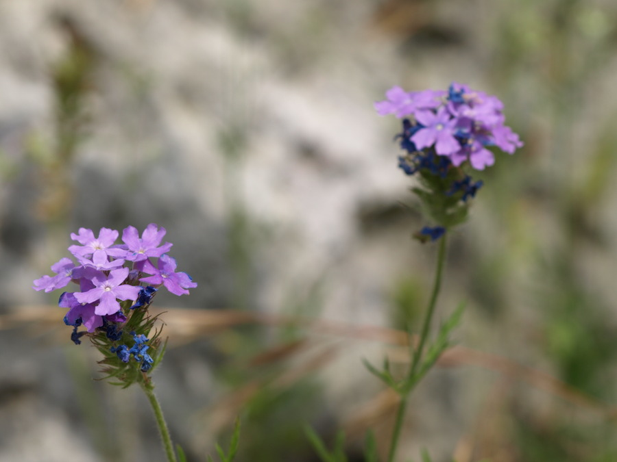 Prarie_verbena.full