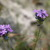 Prarie_verbena.small