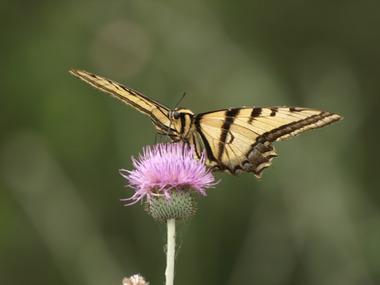 Swallowtail_on_thistle.detail
