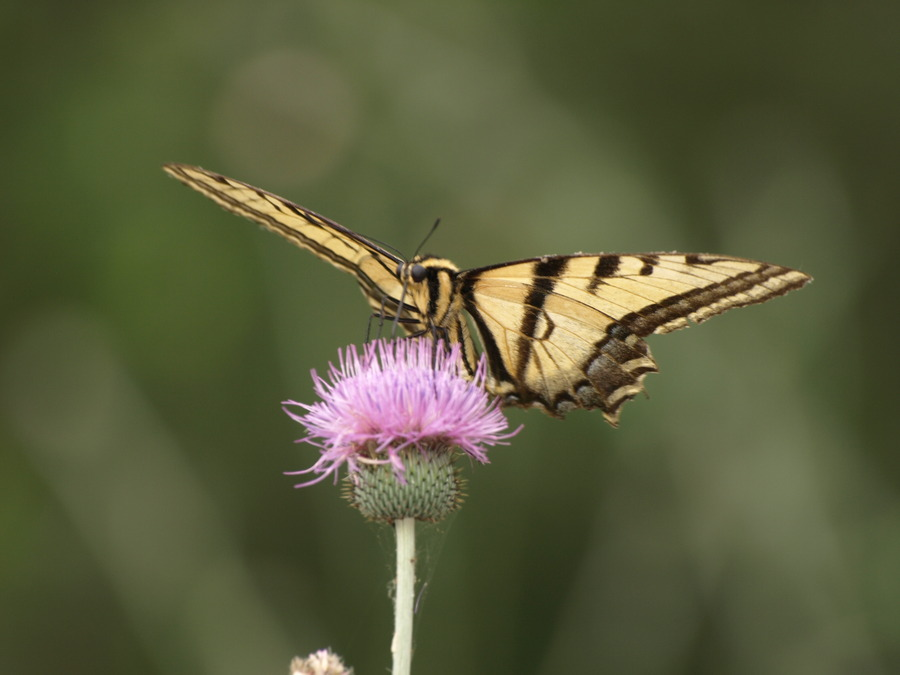 Swallowtail_on_thistle.full