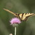 Swallowtail_on_thistle.small