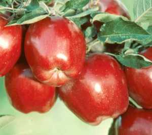 Apple Tree, 'Big Red Delicious'