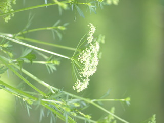 Parsley bloom