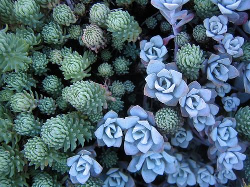 Cacti_and_succulents_sedum_spathulifolium.full