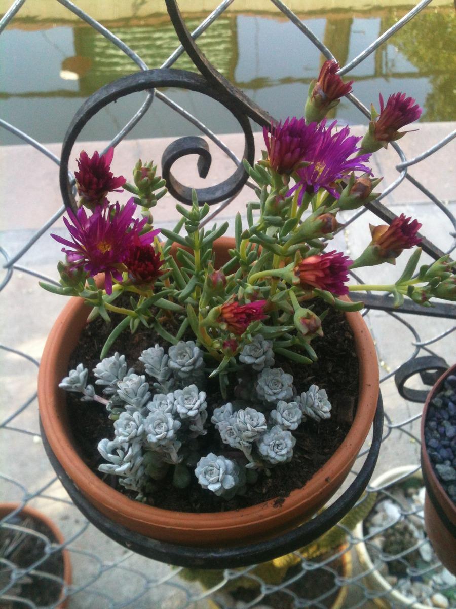 Cacti_and_succulents_sedum_spathulifolium-1.full