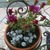 Cacti_and_succulents_sedum_spathulifolium-1.small