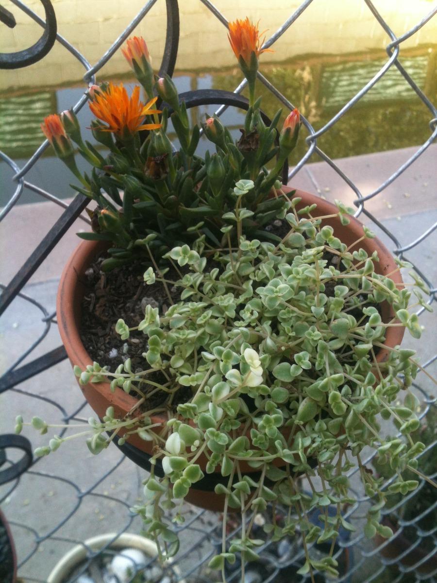 Cacti_and_succulents_sedum_crassulaceae.full