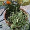 Cacti_and_succulents_sedum_crassulaceae.thumb