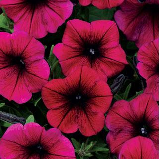 Petunias_petunia_hybrida_shock_wave_purple.full