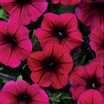 Petunias_petunia_hybrida_shock_wave_purple.thumb