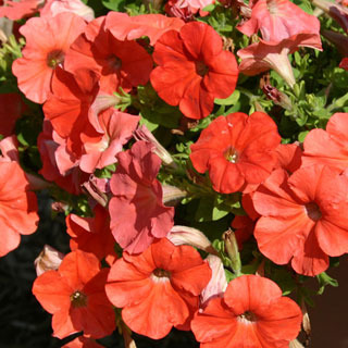 Petunias_petunia_sweetunia_orange_flash.full