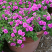 Petunias_petunia_surfinia_summer_double_rose.thumb