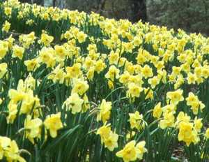 Daffodil, Large-cupped 'Saint Patrick's Day'
