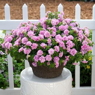 Petunias_petunia_surfinia_summer_double_pink.full