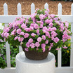 Petunias_petunia_surfinia_summer_double_pink.thumb