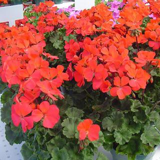 Geraniums_pelargonium_hortorum_nano_red.full