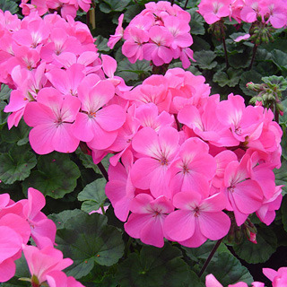 Geraniums_pelargonium_hortorum_nano_pink.full