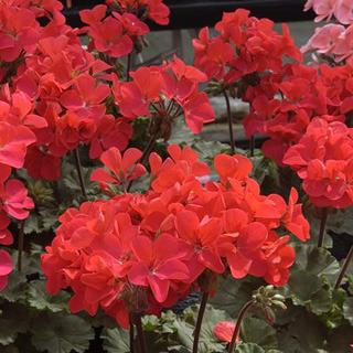 Geraniums_pelargonium_hortorum_nano_scarlet.full