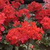 Geraniums_pelargonium_hortorum_nano_scarlet.thumb