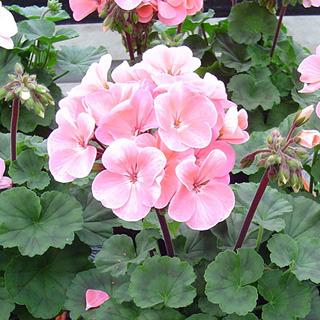 Geraniums_geranium_nano_appleblossom.full