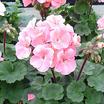 Geraniums_geranium_nano_appleblossom.thumb