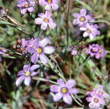 Blue-Eyed Grass, California
