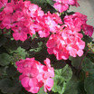 Geraniums_pelargonium_hortorum_nano_deep_rose.thumb