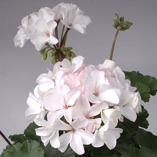 Geraniums_pelargonium_hortorum_nano_white.full