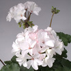 Geraniums_pelargonium_hortorum_nano_white.thumb