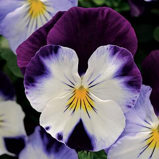 Pansies_viola_x_wittrockiana_cool_wave_violet_wing.full