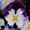 Pansies_viola_x_wittrockiana_cool_wave_violet_wing.thumb