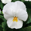 Pansies_viola_x_wittrockiana_cool_wave_white.thumb