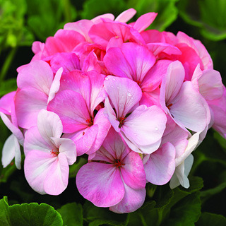 Geraniums_pelargonium_hortorum_pinto_premium_white_to_rose.full